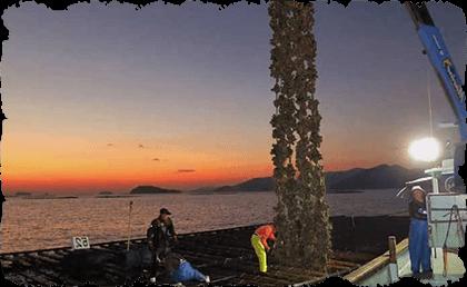 牡蠣(かき)なら赤穂市坂越『さこし』にある「鎌島水産」まで!産地直産の生牡蠣は豊かな自然が育てた自慢の牡蠣。『かましま水産』