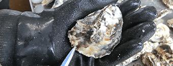 牡蠣(かき)なら赤穂市坂越『さこし』にある「鎌島水産」まで!産地直産の生牡蠣は豊かな自然が育てた自慢の牡蠣。『かましま水産』 牡蠣のむき方手順2