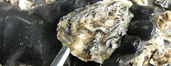 牡蠣(かき)なら赤穂市坂越『さこし』にある「鎌島水産」まで!産地直産の生牡蠣は豊かな自然が育てた自慢の牡蠣。『かましま水産』 牡蠣のむき方手順3