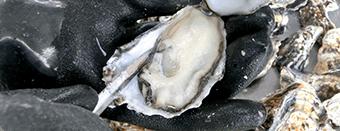 牡蠣(かき)なら赤穂市坂越『さこし』にある「鎌島水産」まで!産地直産の生牡蠣は豊かな自然が育てた自慢の牡蠣。『かましま水産』 牡蠣のむき方手順5