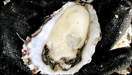 牡蠣(かき)なら赤穂市坂越『さこし』にある「鎌島水産」まで!産地直産の生牡蠣は豊かな自然が育てた自慢の牡蠣。『かましま水産』 牡蠣のむき方手順6